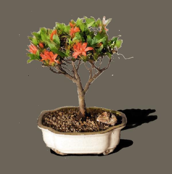 Bird S Bonsai Affordable Flowering Bonsai Tree For Sale