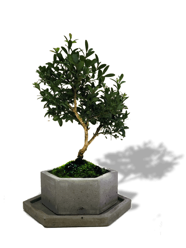 bonsai-mini—new-min